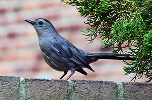 gray catbird sitting on a brick Wand