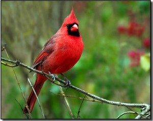 male cardinal perched on a tree branch