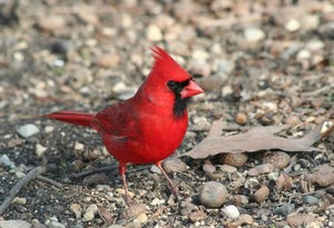 male northern cardinal walking around on the ground