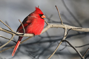 male cardinal trying to catch a nap