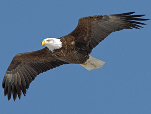 bald eagle soaring through the air