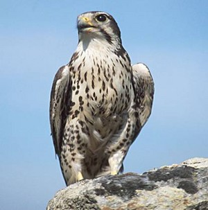 falke, falcon sitting on a rock