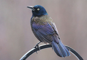 male common grackle on a metal fence