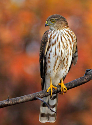 female sharp shinned hawk