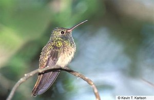 female buff bellied hummingbird
