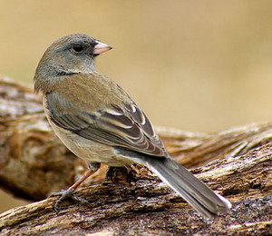 female dark eyed slate colored junco