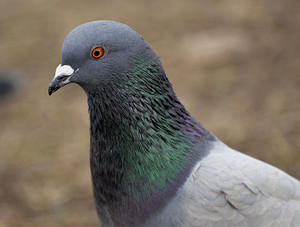 rock pigeon closeup
