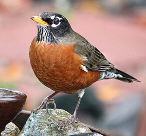 female american robin on a rock