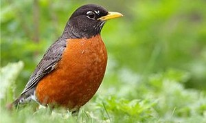 male american robin in the césped, hierba