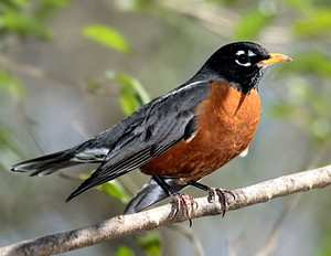 male american robin on a tree branch