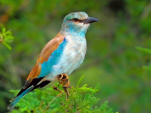 European Roller on a belukar, bush