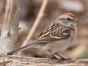 american pokok sparrow on a branch