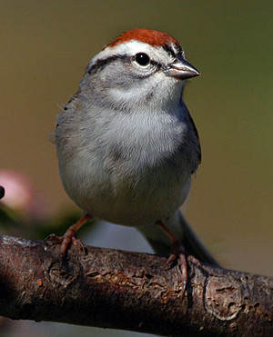a chipping sparrow, a beautiful bird from Canada