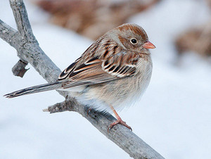 field sparrow in winter