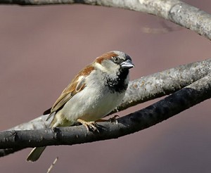 male house sparrow on a tree branch