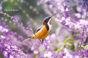 spinebill surrounded by purple flowers