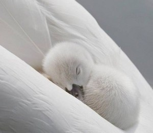 swan duckling nestled in it's mama's wings