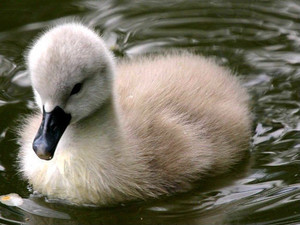 swan duckling swimming in the pond