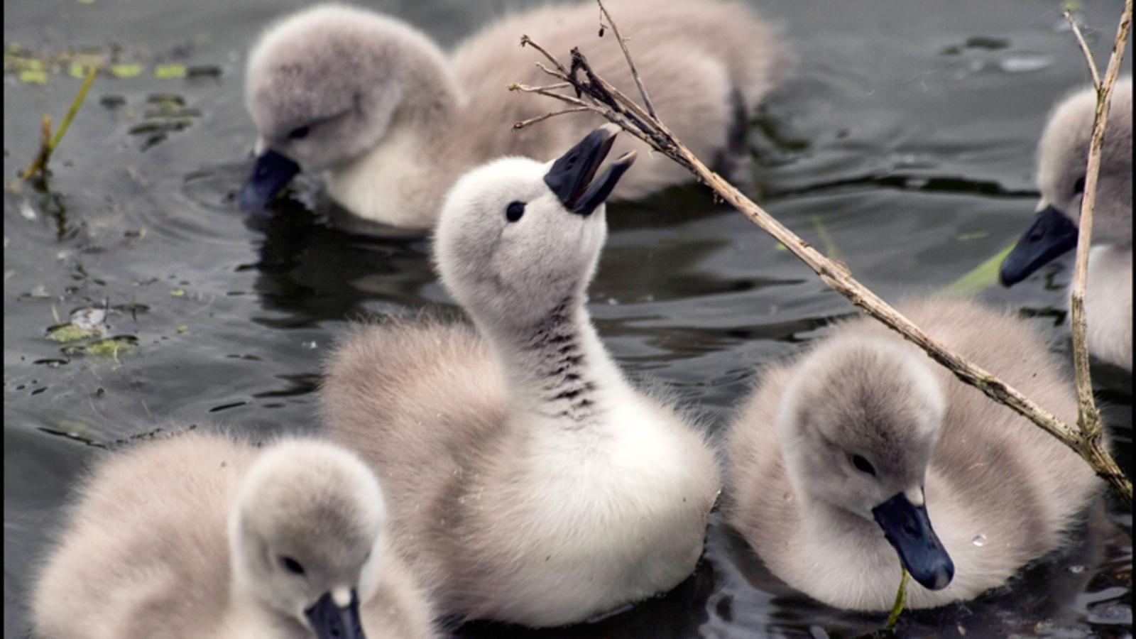 swan ducklings, they are so cute