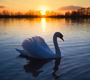 beautiful swan on the lake at sunset