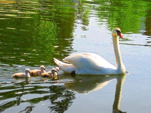 swan mom with her babies following along