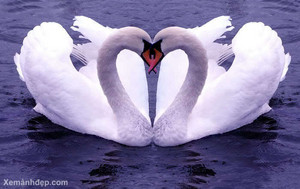 swan pair forming a heart