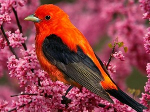 beautiful scarlet tanager sitting among pretty pink flowers