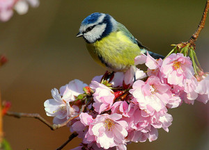 blue tit sitting on আপেল blossoms