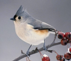 tufted blue titmouse on a cherry tree