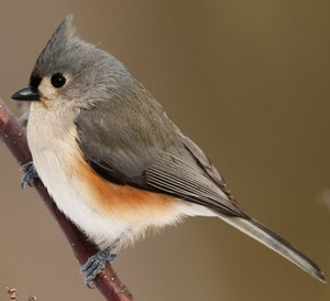 yet another tufted gray titmouse