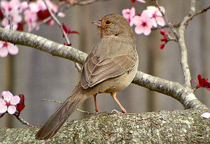 california towhee in a cherry blossom tree