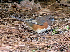 female eastern towhee