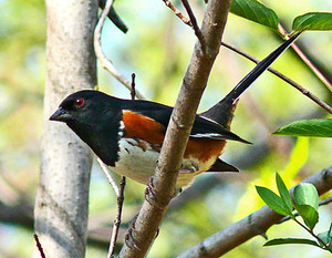 male eastern towhee lookin around