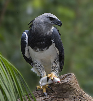 Harpy eagle from Brazil