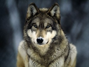 Beautiful grey wolf. <3