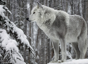 Beautiful Wolf!