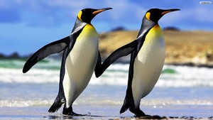 2 Emperor Penguins 壁纸