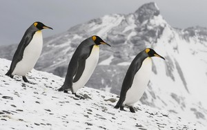 3 Emperor Penguins wallpaper