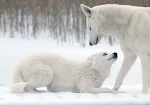 Beautiful white wolves!