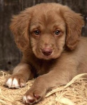 Nova Scotia pato Tolling Retriever