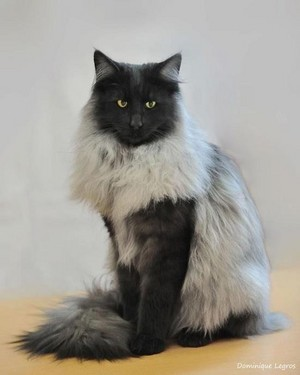 Norwegian Forest Кошки
