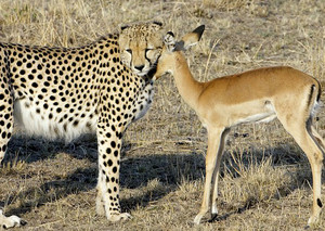 cheetah and rusa, gazelle