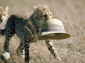 cheetah cub with a hat