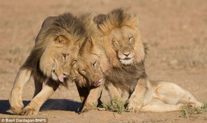 Lion brothers