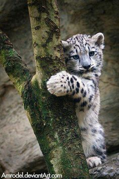 cute snow leopard cub