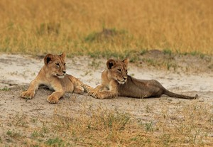 2 of Cecil's cubs