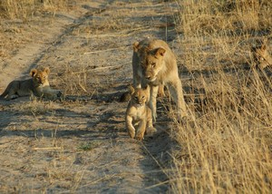 2 of Cecil's cubs with their mom