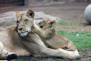 Mother lioness and cub