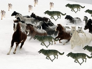 Packs of wolves hunted a herd of horses