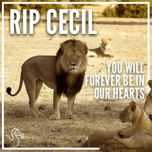 R.I.P Cecil...you'll always be in our hearts